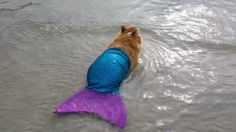 Corgi in a mermaid costume