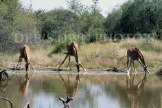 Giraffes at a watering hole - Mabalingwe Nature Reserve, South Africa