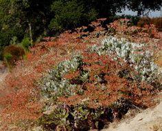 Eriogonum giganteum,  St. Catherine's Lace is a big buckwheat.