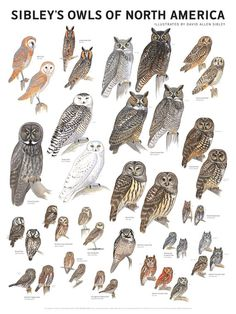 Sibley's Owls of North America Poster – Scott & Nix Owl Bird, Pet Birds, Elf Owl, Bird Identification, Long Eared Owl, Especie Animal, Barred Owl, Great Grey Owl, Animal Illustrations