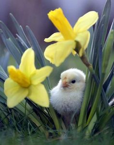 sweet baby chick relaxes between two yellow daffodils among the blades of grass