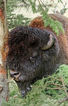 Bison in Yellowstone National Park, Wyoming. Having a little 'bark' snack.
