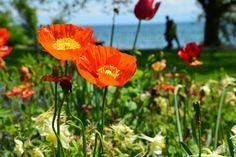 Blumeninsel Mainau - Bodensee - Süddeutschland   Mehr Fotos in meiner Blog-Gallery www.kuechencottage.de #fotografie #blumen #flowers #flora #hobbyfotografie #fotos #wunderschön #traumhaft #Bodensee #see #blumeninsel #mainau #Badenwürttemberg