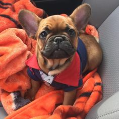 Gunner, a French Bulldog Puppy