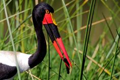 Saddle-billed Stork, Ephippiorhynchus senegalensis, Saalbekooievaar, Lake Panic, KNP, South Africa. Female.