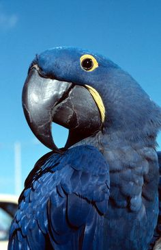 Hyacinth Macaw has blue and yellow feathers.
