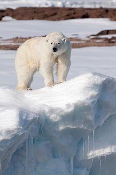 Polar Bear, Svalbard, Norway