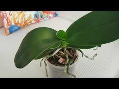 Orkidem çiçek açmıyor. Orkide çiçek dönemi . - YouTube