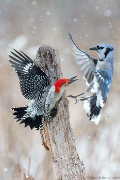 Blue jay-A Red bellied Woodpecker Pretty Birds, Beautiful Birds, Animals Beautiful, Exotic Birds, Colorful Birds, All Birds, Love Birds, Photo Animaliere, Wild Creatures