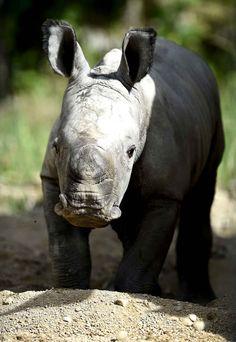 Bayami est un adorable bébé rhinocéros qui vit au zoo d'Amnéville en France.