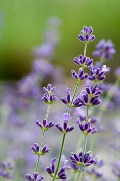 Bellasecretgarden — (via Lavender bloom | Flowers | Pinterest)