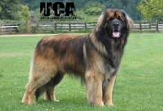 Leonberger! I've fallen in love with this breed. Link to information about this perfect breed.