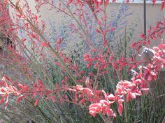 Red yucca and Russian sage