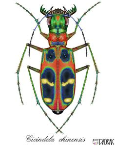 I draw your own pictures on your PC - Cicindela chinensis