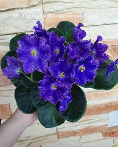 Violets are not stable, it's how we get millions of varieties. Sometimes your sport rocks, like the one above, sometimes not.  #RussianViolet #AVSA #AfricanVioletSocietyOfAmerica #AfricanViolet #IndoorPlant #Houseplant #saintpaulia #senpolia #AfricanVioletLovers #fialka #AfricanViolet #bloom #blooms #fialki #fialka #flowerpower #AfricanVioletLovers #AfricanVioletBlooming Easy House Plants, Saintpaulia, Houseplants, Indoor Plants, Flower Power, Bloom, African, Inside Plants, Indoor House Plants