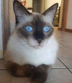 Leo on birdwatching duty.   #bird #catslife #funnycats #catsofinsta #ragdoll #ragdollcat #leothecat #thoseeyestho #blueeyes #blue #catpics #petsitter #catsitter #catsitting #cutepets #petstagram