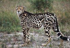 "The Cheetah Kingdom: Animal Phylum: Chordata Class: Mammalia Order: Carnivore Family: Felidae Subfamily: Acinonychinae Genus: Acinonyx species:Jubatus The word ""Cheetah"" . Beautiful Cats, Animals Beautiful, Cheetah Photos, Cheetah Wallpaper, Big Cat Rescue, Cheetahs, Leopards, Big Cats, Animal Photography"