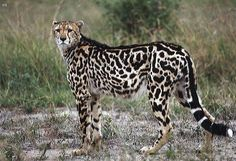 "King Cheetah |  This unusual looking cheetah, also known as Cooper's Cheetah, was once thought to be a separate sub-species. But it is actually an African Cheetah exhibiting a rare fur pattern mutation. A recessive gene must be inherited from both parents in order for this ""blotchy"" pattern to appear."