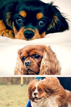 Cavalier temperament ranges from sweet and placid to hard-charging and even stubborn. The sweet, placid Cavaliers sometimes have a credibility for being dumb, and the stubborn ones for being untrainable, however in general, these canines are wise and learn quickly. They respond well to favorable support techniques, particularly when food rewards are used, but extreme words will trigger them to stop attempting and even to hide. A Cavalier should typically never be shy or aggressive to people or o