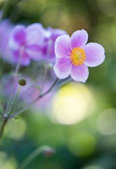Anemone, Chicago Botanic Garden Chicago Botanic Garden, Grow Your Own, Dream Garden, Beautiful World, Garden Landscaping, Breathe, Natural Beauty, Competition, Flora