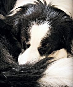 Border Collie all curled up
