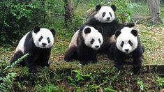 panda   Google: Panda 4.1 Still Rolling Out
