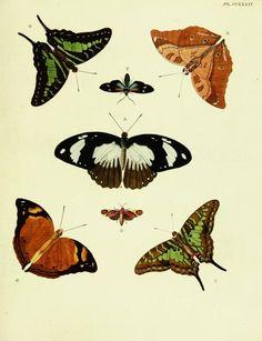 1782 - Pt. 3-4 Plates - De uitlandsche kapellen voorkomende in de drie waereld-deelen, Asia, Africa en America, - Biodiversity Heritage Library