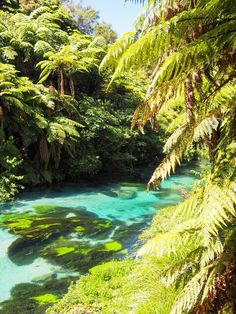 New Zealand Travel Inspiration - Visiting the Blue Springs Putaruru & the Te Waihou Walkway; a truly beautiful walk in the North Island with crystal clear water. #travel #newzealand #80pairsofshoes Walk Past, Blue Springs, Crystal Clear Water, New Zealand Travel, South Island, Travel Goals, Walkway, Great Places, Travel Inspiration