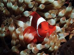 wallpapers free clownfish