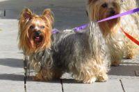 Perro. Yorkshire terrier