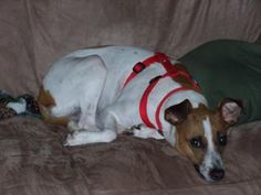 jack russell whippet