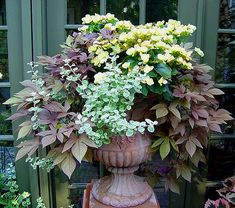 Shade container garden: Solenia begonias, sweet potato vine and variegated licorice plant
