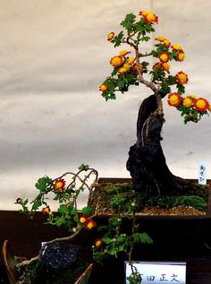 flowering bonsai ...At Sankeien Gardens's Chrysanthemum festival ... Yokohama, Japan .. amazing!!