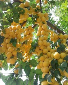Exotic Fruit, Tropical Fruits, Kinds Of Fruits, Fruits And Vegetables, Yellow Plums, Fruit Picture, Beautiful Fruits, Vegetable Garden Design, Garden Trees