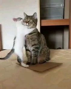 Funny Cute Cats, Cute Baby Cats, Cute Cat Gif, Cute Little Animals, Cute Cats And Kittens, Cute Funny Animals, Kittens Cutest, Cute Cat Video, Fat Cats Funny