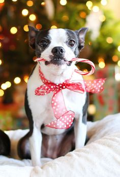 Boston Terrier Christmas Candy Cane