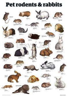 Pet rodents & rabbits by Guardian Wallchart Nature Animals, Farm Animals, Animals And Pets, Cute Animals, Pet Rodents, Animal Medicine, Contemporary Art Prints, Rabbit Art, Animal Posters