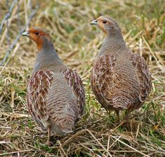 Grey Partridge ~ male and female