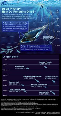 """""""Into the Blue: The Ocean's Deepest Divers (Infographic)"""" -- Accompanying article """"Penguins' Oxygen Trick: How They Survive Deep Dives"""" here: http://www.livescience.com/14117-penguin-diving-feat-oxygen-trick.html"""
