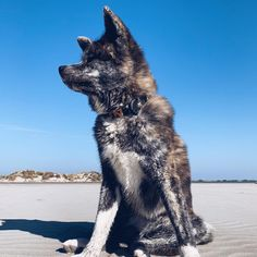 What is the Green Bean Dog Diet? Akita Puppies, Cute Puppies, Pet Dogs, Dog Paws, Pets, Japanese Princess, Japanese Akita, Dog Diet, Naoko