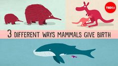 The three different ways mammals give birth - Kate Slabosky: All mammals share certain characteristics, like warm bl. Ted Videos, Unusual Facts, Interesting Facts, Health Lessons, Ted Talks, Life Science, Mammals, Dinosaur Stuffed Animal, Pouch