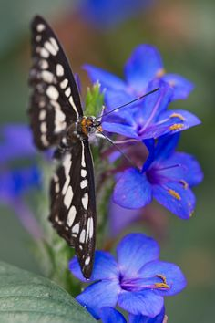 Blessed are those who mourn, For they shall be comforted. [Matthew 5:4] (Common Sailor Butterfly)