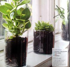 Plantera i cylindervaser