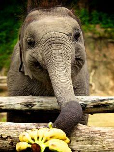 Elephant Conservation Center Thailand <3