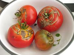 Because awful things happen to tomato plants in summer, here are five of the most common problems and what you can do about them.