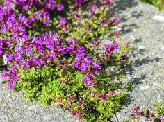 begehbare-bodendecker-rasenersatz-garten-schnellwachsend-kräuter-thymian-violett