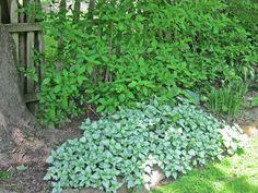 Lamium is a lovley shade perennial.