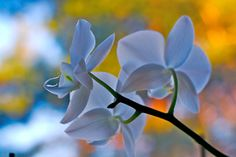 Orchid Care in cold climates