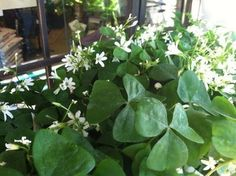 shamrock....how to grow the houseplant