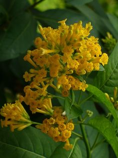 Orange Cestrum, Golden Cestrum, Yellow Cestrum, Orange Jessamine, Orange Jasmine